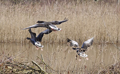 Geese (yvonnepay615) Tags: uk nature birds lumix geese norfolk panasonic g1 eastanglia 100300mm pensthorpe