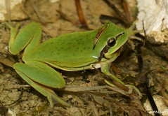 Hyla meridionalis (MP7Aquit) Tags: macro tree nature wildlife sony sac amphibian frog toad mating 28 alpha amphibians tamron 90 reproduction chant vocal 550 hyla rainette ranita tailless anura amphibia gironde amphibien meridionalis meridional stripeless anuro anoura anoure mridionale taillless varliagyviai