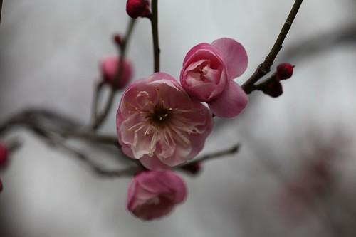 ピンクの花 ~ 寒空に咲く