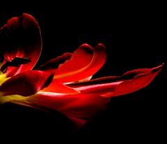 open (lovestruck.) Tags: flowers red black macro yellow metal closeup tulips box stripes depthoffield planter bigmomma challengeyouwinner pentaxk10d