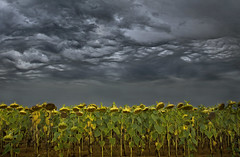 Dead Sunflowers under a Stormy Sky (wentloog) Tags: summer sky cloud storm france field wales canon eos cycling farming cymru cardiff august crop sunflowers caerdydd 5d lightning agriculture vendee thunder touring wfc 24105 mammatus canoneos5d ef24105f4l wentloog welshflickrcymru stevegarrington