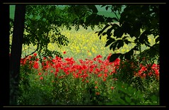 Jamaican colors (eLKayPics) Tags: red flores flower rot primavera field spring hungary pentax flor feld jamaica poppy poppies reggae blume raps ungarn balaton virg frhling papaver acker magyarorszag rapeseed pipacs mohn zala plattensee amapolas mohnblume frhjahr k7 redpoppy keszthely akazie mk greenyellowred roselles pavots pacsa zalamegye elkaypics szentpterr nemesszer virgzikamk