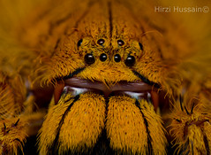 Garfield (Zeen.) Tags: orange spider eyes arachnid eight huntsman zeen hussain hirzi