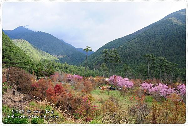 2012武陵櫻花19.JPG
