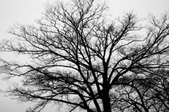 PhoTones Works #947 (TAKUMA KIMURA) Tags: trees sky silhouette landscape branch natural cloudy     kimura    takuma x100    photones