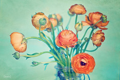 102.366 (Laura L. Ruth) Tags: orange flower texture aqua ranunculus april dreamy sherbet 2012 366 project365 lauraruth lauraruthphotography