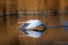 Mute swan & reflection (Bren Cullen) Tags: county ireland winter motion blur canon flying swan 7d co wicklow mute arklow polariser 100400 thewonderfulworldofbirds