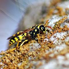 Prserver la vie... (ImAges ImprObables) Tags: pierre jardin gimp commune insecte mousse effet gupe drme noyade rhnealpes autichamp sauve