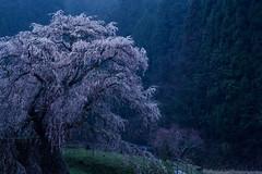 Old Cherry Tree Twilight of Rain (HarQ Photography) Tags: japan nara sakura cherry spring sony a900 sal135f18z za 又兵衛桜 本郷の瀧桜