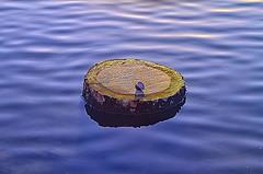 Racoon Breakfast (Kansas Poetry (Patrick)) Tags: wetlands lawrencekansas bakerwetlands wakarusawetlands patrickemerson patricknancywalktheirdogs