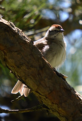 Chipping Sparrow (lanaganpm) Tags: