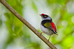 Tangarazinho (Pin-tailed Manakin) (Bertrando) Tags: nature birds wildlife natureza aves birdwatching pssaros thegalaxy ilicuramilitaris pintailedmanakin tangarazinho flickrstruereflection2 flickrstruereflectionlevel1 flickrstruereflectionlevel3