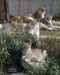 The Girls.... (Leffson Photography) Tags: washingtondc nationalzoo lioncubs endangeredspecies canon70200mmf28l allrightsreserved endangeredcats canon7d marleneleffson leffsonphotography marleneleffson africcanlion bigcatsexoticcats