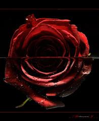 "(aniribe) Tags: flower rose nikon creative wow1 ""flickraward"" flickrstruereflection1"
