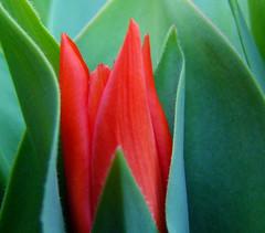 Prvi tulipan v mojem vrtu/ First tulip in my garden (Silva Predalič) Tags: red green garden spring vrt slovenia tulip makro tulipan grosuplje zelena pomlad rdeča flickrstruereflection2