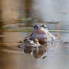 Moor frog (Kees Waterlander) Tags: nederland peat veen amphibians moor bog drenthe moorland amphibia ranaarvalis bargerveen moorfrog amfibieën theneterlands hoogveen heidekikker
