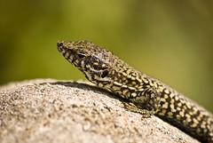 7 Maggio 2011 (Mile 85) Tags: macro nature animal animals nikon wizard reptile natura lizard animali lucertola rettile nikond40x d40x nikonart