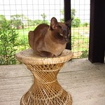 "Burmese Cat <a style=""margin-left:10px; font-size:0.8em;"" href=""http://www.flickr.com/photos/14315427@N00/7071207057/"" target=""_blank"">@flickr</a>"