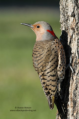 Northern Flicker (Colaptes auratus) - Yellow-Shafted (Taiga/Eastern) (Sharon's Bird Photos) Tags: tree bird nature spring backyard woodpecker wildlife birding northdakota northernflicker yellowshafted colaptesauratus explored avianexcellence amazingwildlifephotography explore62april142012 taigaeastern