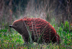 Echidna, Australia (Rod Waddington) Tags: animal native north australia victoria east alpine valleys echidna
