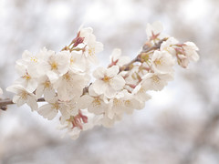 (Polotaro) Tags: flower nature pen olympus  sakura   zuiko ep1       gzuiko50mmf14