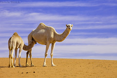 Time to drink milk (TARIQ-M) Tags: pictures sky cloud texture sahara landscape photo milk sand waves pattern desert image photos ripple patterns dunes picture wave images camel ripples camels riyadh saudiarabia hdr       canoneos5d     goldensand        canonef70200mmf4lusm               canoneos5dmarkii           tariqm  tariqalmutlaq timetodrinkmilk