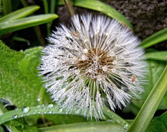 2012-04-28 Raindrops & Dandelions (Mary Wardell) Tags: nature water rain oregon canon spring raindrops dandelions g12