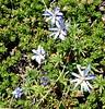 Estrellita o Estrella de Cordillera (Perezia recurvata) (Katherine Viviana) Tags: estrellita recurvata perezia patagoniaflora
