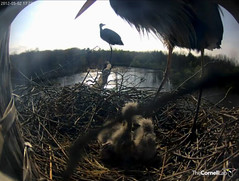 Papa arrives in the late afternoon... (y.mclean) Tags: heron nest cornell ornithology greatblueheron sapsuckerwoods cornelllabofornithology