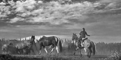 Round Up (Maryann R.) Tags: horses blackandwhite horseroundup