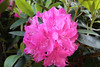 IMG_3031.JPG (robert.messinger) Tags: flowers rhodies