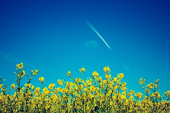 Day in the Rape Field (lifeless567) Tags: travel blue summer sky sun plant green nature beautiful up field weather yellow plane work canon landscape outdoors eos stem looking outdoor farm farming petal foliage oil 70d rapefieldy