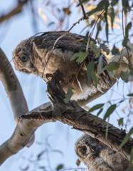 Owls (shottwokill) Tags: nature birds evening nikon wildlife nikkor owls d800 200500