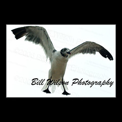 Gull (wildlifephotonj) Tags: bird birds gull gulls beachbirds wildlifephotography wildlifephotos beachphotos wildlifephotographynj