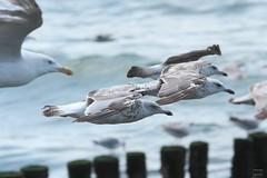 2012_IMG_9057 (niek haak) Tags: beach strand gulls zeeland meeuwen