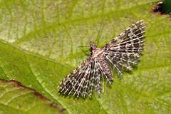 Pahljaarka (natalija2006) Tags: nature moth lepidoptera slovenia narava alucitidae alucita manyplumed metulji huebneri copromorphoidea pahljaarka pahljaarke