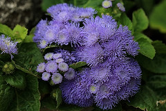 Purple Flowers Macro (hbickel) Tags: flowers macro canon purple pad photoaday macrolens canont6i