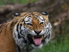 Elroy.... (wernerlohmanns) Tags: tiger natur raubtiere groskatzen