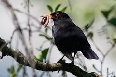 _F0A7985.jpg (Kico Lopez) Tags: birds rio spain aves galicia turdusmerula lugo mirlocomn