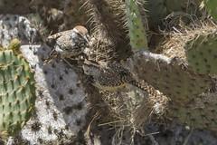 Charlie and Bravo 3 050716 (evimeyer) Tags: cactuswren campylorhynchusbrunneicapillus ranchopalosverdes wildlifephotography altavicente
