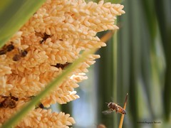 DSCN3601 (gabrielabaryov) Tags: las naturaleza flores flower color tree verde green nature de uruguay countryside fly nikon natural hormigas flor palm bee amarillo fray sin ants miel coolpix campo abeja honeybee aire palmera libre caas vuelo filtro bentos profundidad l830