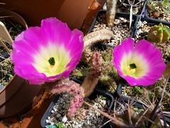 Echinocereus pentalophus (bunkenburg) Tags: echinocereus echinocereuspentalophus 08018