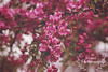 Blooming Beauty (Proper Photography) Tags: pink flowers nature colors beautiful beauty canon spring colorful pretty blossom may violet sigma blossoming springtime blooming naturephotography 2016 crabappletree mayflowers sigma70300 sigmalens canoneos7d may2016 spring2016
