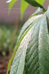 """Original"" (Fanniekartika) Tags: morning light love nature water beauty leaves rain canon wonderful serenity preservation splendid eos1100d"
