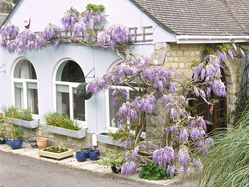 Wisteria from a front garden in Ipswich Road by Andre Thomas