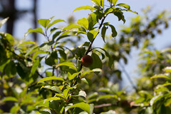 IMG_4265 (armadil) Tags: fruits fruit backyard plum plums plumtree