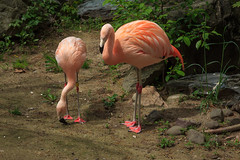 Spring Fashion: Pink Feet with Matching Knees! 136 of 365 (3) (bleedenm) Tags: usa zoo spring may flamingos providence rhodeisland rogerwilliamsparkzoo 2016