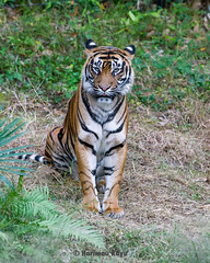 Deru  - I Won't Say Meow (Harimau Kayu (AKA Sumatra-Tiger)) Tags: uk sleeping portrait holland girl beautiful beauty animal cat asian zoo feline peace tabby tiger arnhem dream most burgers once cubs yokohama roar tijger tigris tigre bayu batu lynx bigcats sumatran upon grimalkin chessington the ratna  zoorasia mimpi guntur sumatratiger tygr betterhalf  deru pantheratigrissumatrae sumatraansetijger asiancat tigredesumatra  sumatrantiikeri harimausumatera sumatrakaplan tygrsumatersk tygryssumatrzaski  szumtraitigris       hsumatra