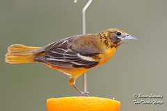 Female Baltimore Oriole (Brian Lasenby) Tags: spring baltimoreoriole color northamerica nature backyard environment forest eat season orange animal behaviour perch fruit grandbend wildlife food object birdfeeder bird icterusgalbula ontario canada oriole lambtonshores places