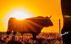 O sol da nossa paixo. Foto @porlasrutasdeltoro na ganadaria Murteira Grave. #touradas #natureza #biodiversidade #ecologia (Protoiro) Tags: toros bullfight tauromaquia touradas protoiro